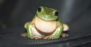 Common Green Treefrog